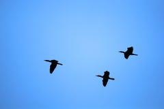 Kierdel ptaki Zdjęcie Royalty Free