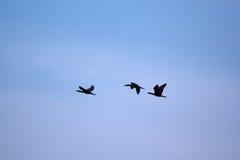 Kierdel ptaki Obraz Stock