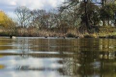 Kierdel ptaki i mallard dzikie kaczki na stawie w Londyn Zdjęcia Royalty Free