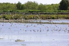 Kierdel ptaki które żyją w bagna terenie Fotografia Royalty Free