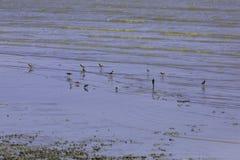 Kierdel ptaki które żyją w bagna terenie blisko morza Zdjęcia Stock