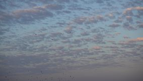 Kierdel ptaki Lata Daleko od Na zmierzchu niebie zbiory