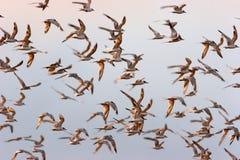 KIERDEL ptaki LATA PRZY świtem Obraz Stock