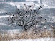 Kierdel ptaki na drzewie Styczeń 33c krajobrazu Rosji zima ural temperatury obraz royalty free