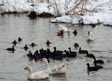Kierdel ptaki pływa w jeziorze Obrazy Royalty Free