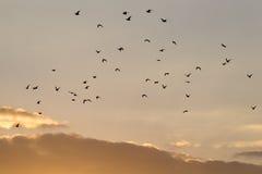 Kierdel ptaki przy świtem słońce Zdjęcie Stock