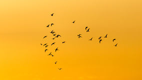 Kierdel ptaki przy świtem słońce Zdjęcie Royalty Free
