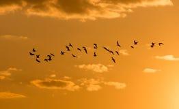 Kierdel ptaki przy świtem słońce Obraz Stock