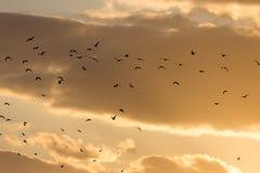 Kierdel ptaki przy zmierzchem Zdjęcia Royalty Free