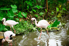 Kierdel różowi flamingi i odbicie w wodzie fotografia royalty free