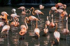 Kierdel różowi flamingi i odbicie w wodzie Obraz Royalty Free