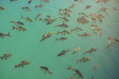 Kierdel Schwanenfeld ` s Tinfoil barbeta ryba w tamie, Tajlandia obraz stock