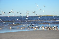 Kierdel Seagulls obraz royalty free