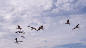 Kierdel Seagulls i Headwind zbiory