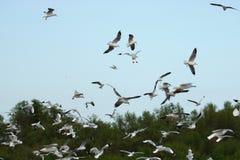 Kierdel seagulls lata w niebieskie niebo nauki imieniu jest Charadriiformes Laridae Selekcyjna ostrość i płytka głębia pole Obrazy Stock
