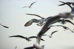 Kierdel seagulls lata w niebo nauki imieniu jest Charadriiformes Laridae Selekcyjna ostrość i płytka głębia pole Obrazy Stock