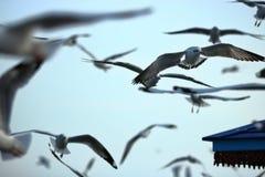 Kierdel seagulls lata w niebo nauki imieniu jest Charadriiformes Laridae Selekcyjna ostrość i płytka głębia pole Obraz Stock
