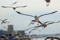 Kierdel seagulls lata w niebo nauki imieniu jest Charadriiformes Laridae Selekcyjna ostrość i płytka głębia pole Zdjęcie Stock