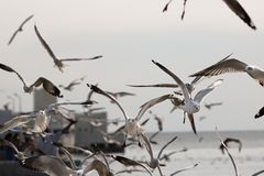 Kierdel seagulls lata w niebo nauki imieniu jest Charadriiformes Laridae Selekcyjna ostrość i płytka głębia pole Obraz Royalty Free