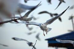 Kierdel seagulls lata w niebo nauki imieniu jest Charadriiformes Laridae Selekcyjna ostrość i płytka głębia pole Fotografia Stock