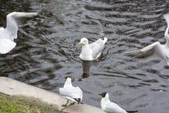 Kierdel seagulls na staw wodzie Zdjęcie Royalty Free