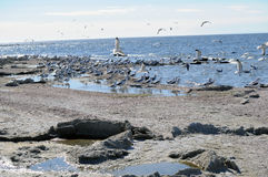 Kierdel Seagulls przy Salton morzem Kalifornia Obrazy Stock