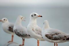 Kierdel seagulls stoi na kamienia ogrodzeniu na niebieskie niebo nauki imieniu jest Charadriiformes Laridae Selekcyjna ostrość i  Obrazy Stock