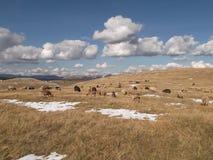 Kierdel sheeps i kózki Zdjęcie Royalty Free