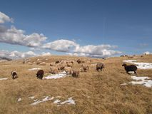 Kierdel sheeps i kózki Fotografia Stock