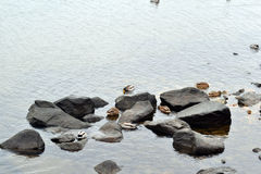 Kierdel siedzi na skałach w rzece dzikie kaczki obrazy stock