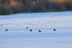Kierdel siedzi w śniegu dzikie kuropatwy obraz royalty free