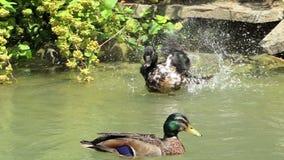 Kierdel stubarwne kaczki pływa w jeziorze w lecie w mo zbiory