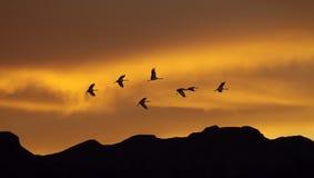 Kierdel żurawie wiosna lub jesieni migracja Fotografia Royalty Free