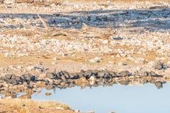 Kierdel w kasku guineafowl przy waterhole Zdjęcie Stock