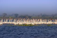 Kierdel wielcy flamingi fotografia royalty free