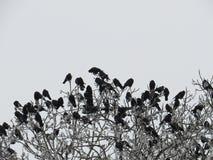 Kierdel wrony na drzewie w zima parku Północny Kaukaz, piękny wiosna krajobraz zdjęcia royalty free