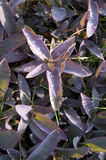 kierowa pallida purpur tradeskancja fotografia stock