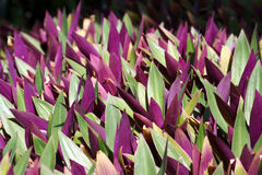 kierowe purpurowy Zdjęcia Stock