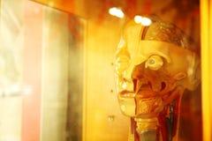 Kierownicza część ludzki anatomia model Obraz Royalty Free