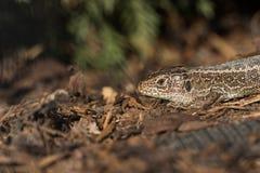 Kierownicza Wygrzewa się piasek jaszczurka w Korowatym chochole (Lacerta agilis) Zdjęcia Stock