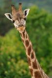 kierownicza żyrafy szyja Obraz Royalty Free