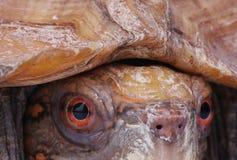 kierowniczy żółw Zdjęcie Royalty Free