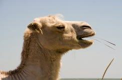 Kierowniczy żuć wielbłąd Fotografia Royalty Free