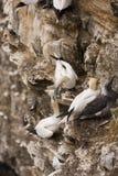 kierowniczy gannet troup Fotografia Stock