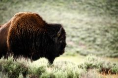 Kierowniczy i ramię nakładający brown męski bizon zdjęcia royalty free
