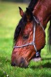 kierowniczy koń Obrazy Royalty Free