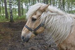 Kierowniczy koń w Finlandia lasu krajobrazie Zwierzęcy tło Zdjęcia Stock