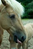 kierowniczy koń Obraz Royalty Free