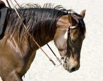 kierowniczy koń Zdjęcie Royalty Free