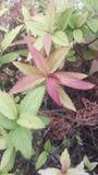 Kierowniczy kwiat Bicolore Fotografia Stock